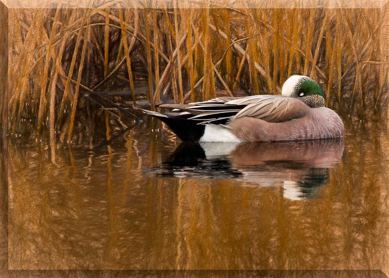 American Wigeon Duck frame embossed.jpg
