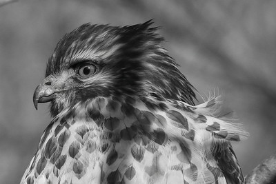 2020 Winter Hawk