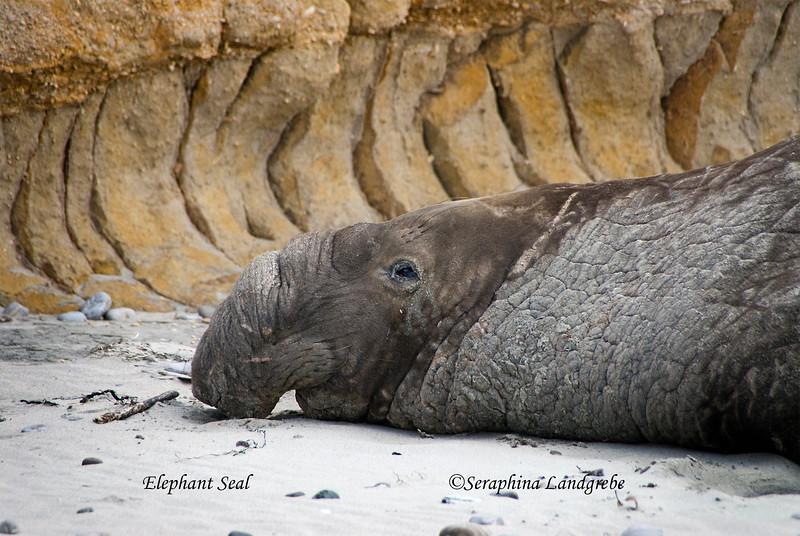 _DSC0342elephant Seal.jpg
