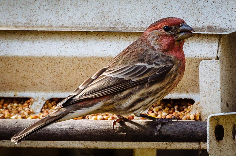 A finch at backyard bird feeder.