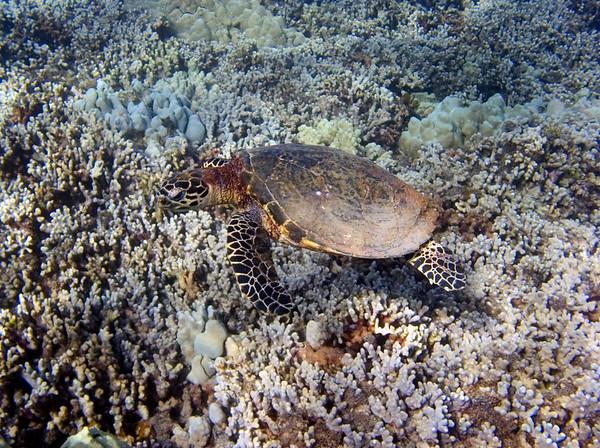 Hawksbill Turtles (Eretmochelys imbricata)
