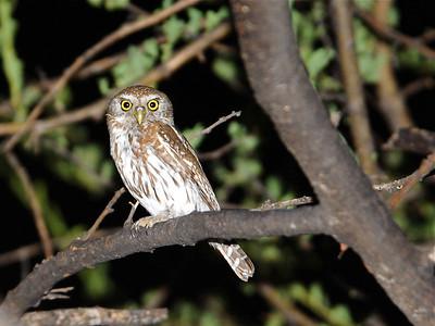African Owls