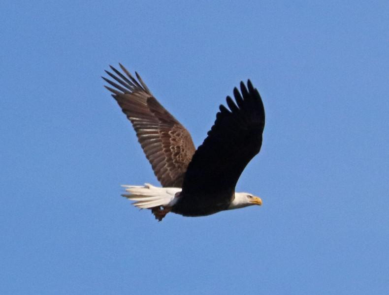 Bald eagle 71