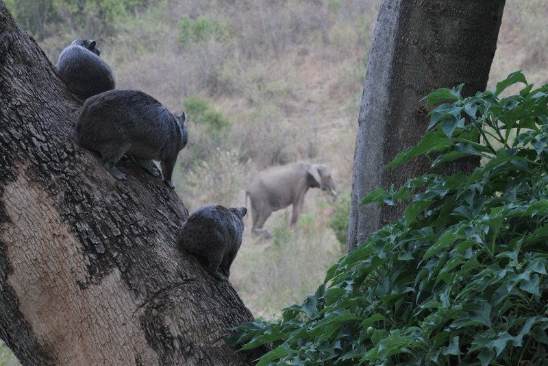 Bush Hyraxes watching a Bush Elephant