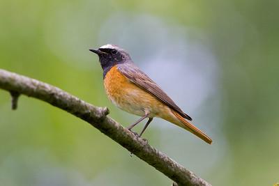 Trastfåglar – Thrushes
