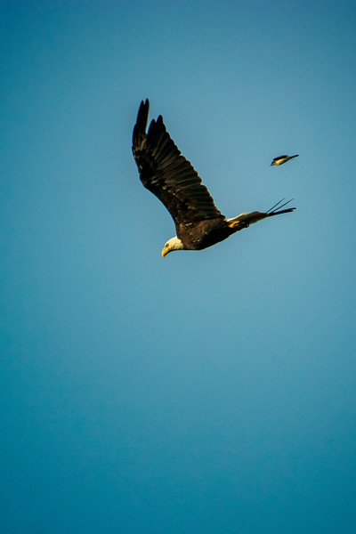 6.28.20 - Blackburn Creek Arm: Bald Eagle being chased by a Barn Swallow.  First Baldy I've seen in a while...