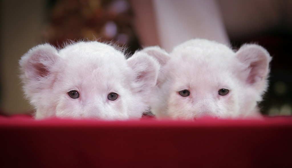 . Two-week-old white lion cubs  at Circus Krone in Darmstadt, Germany, May 24, 2013.  (AP Photo/dpa,Fredrik von Erichsen)