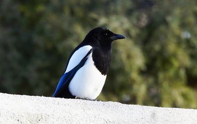 Black Billed Magpies