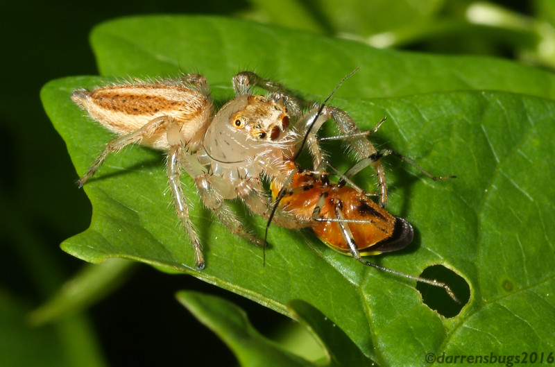 A female jumping spider (Salticidae: genus Thiodina) attacking a four-lined plant bug (Poecilocapsus lineatus).
