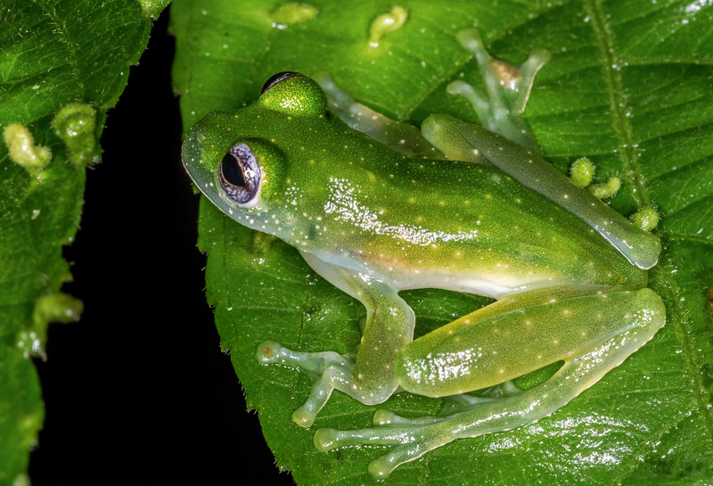 Fleischmann's glass frog