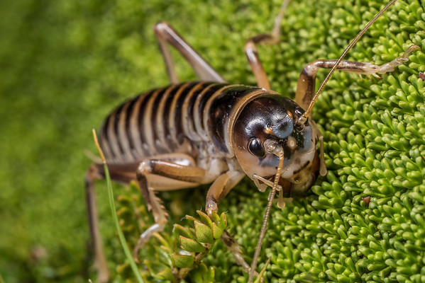 Ground wētā