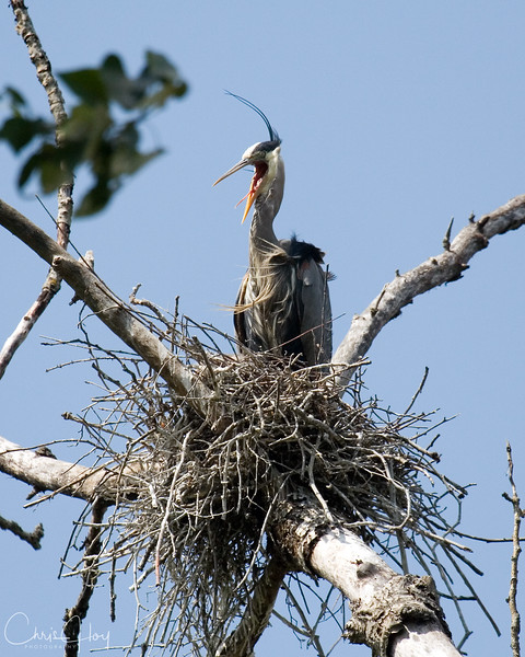 Mama Heron.jpg