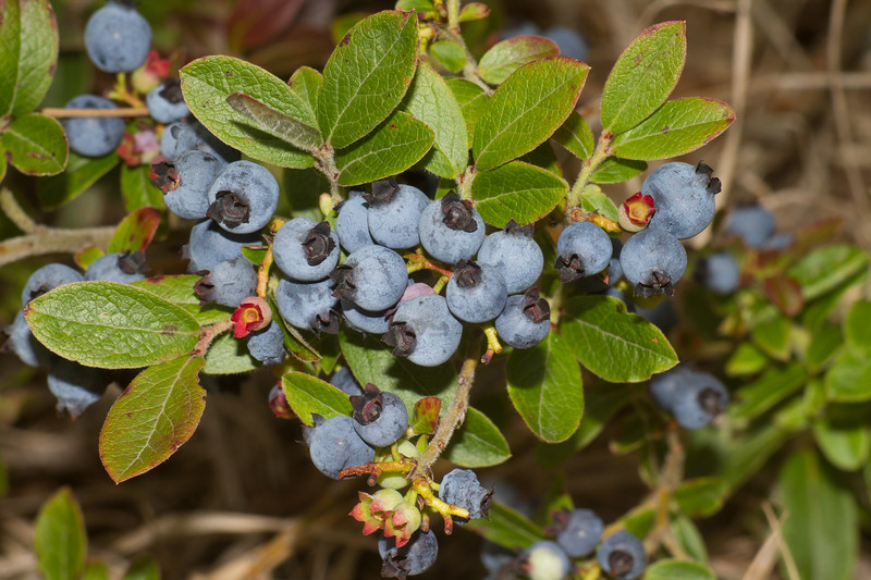 Blueberries ripe Gray Jay Way Sax-Zim Bog MN IMG_4764.jpg