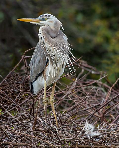 Würdemann's Heron