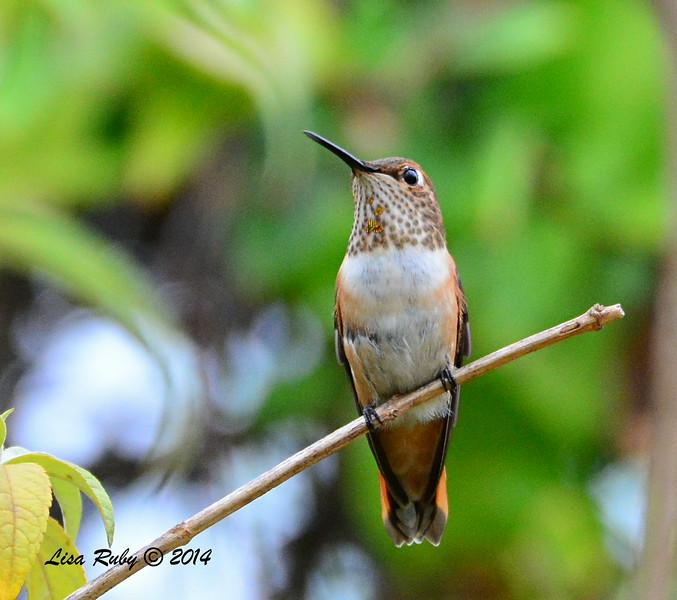 Female or Immature Selasphorus Hummingbird - 8/2/2014 - Backyard, Sabre Springs
