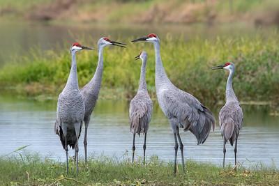 Sandhill Cranes in Central Florida