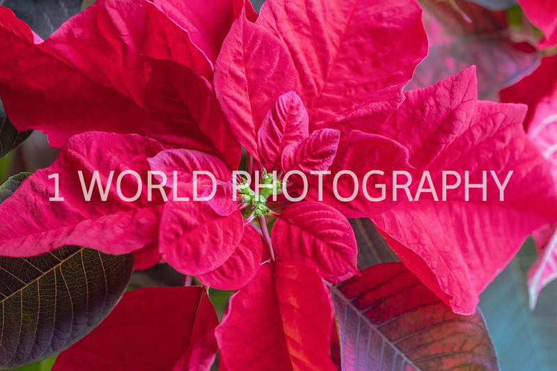 202012212020_12_21 My Poinsettia039--1.jpg