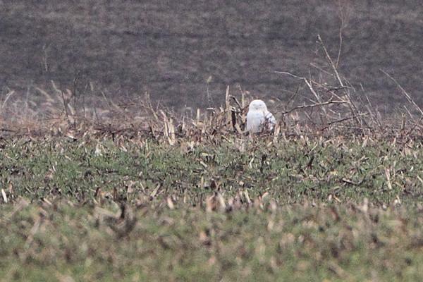 2014-12-27 Snowy Owl