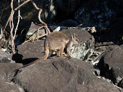 Herbert's Rock-wallaby