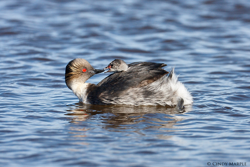 Silvery Grebe with chick