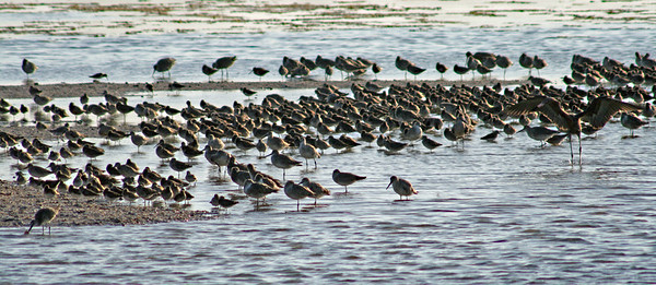 Mixed Flock, Spotted Sandpiper/Willet Maybe?