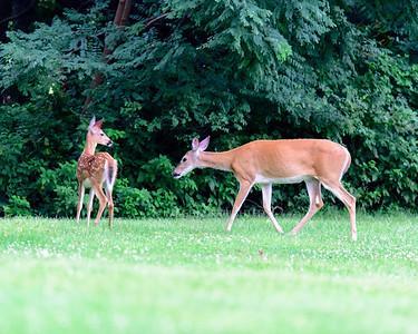 08/14/17 Deer