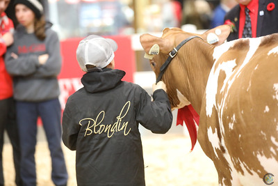 Royal Red Holstein Heifers 2018