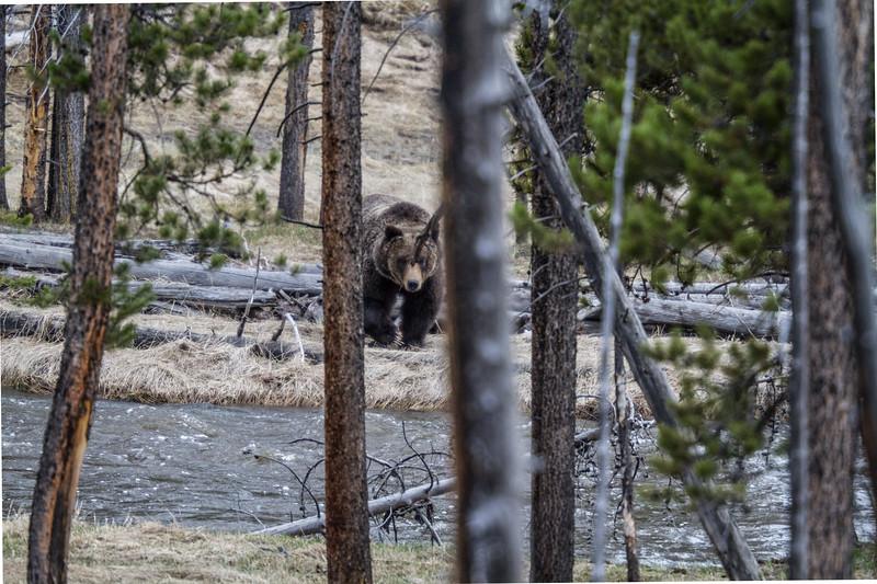 Grizzly bear boar male Yellowstone National Park WY IMG_0335.jpg