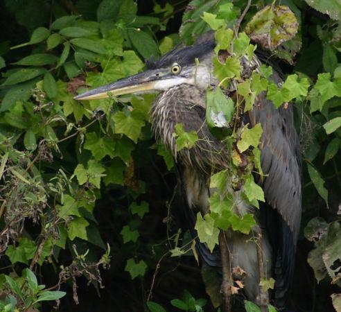 Heron Taxidermy