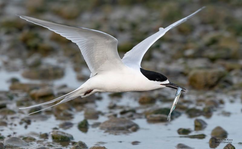 White-fronted Tern, Christchurch, SI, NZ, Sep 2018-8.jpg