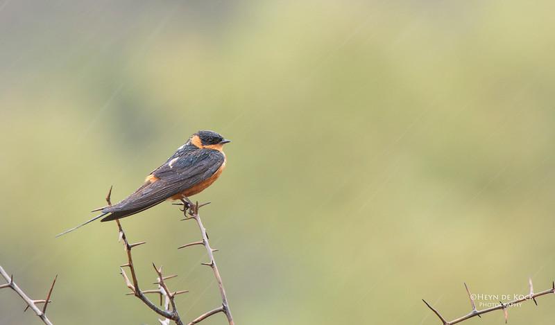 Red-breasted Swallow, Pilansberg National Park, SA, Dec 2013.jpg