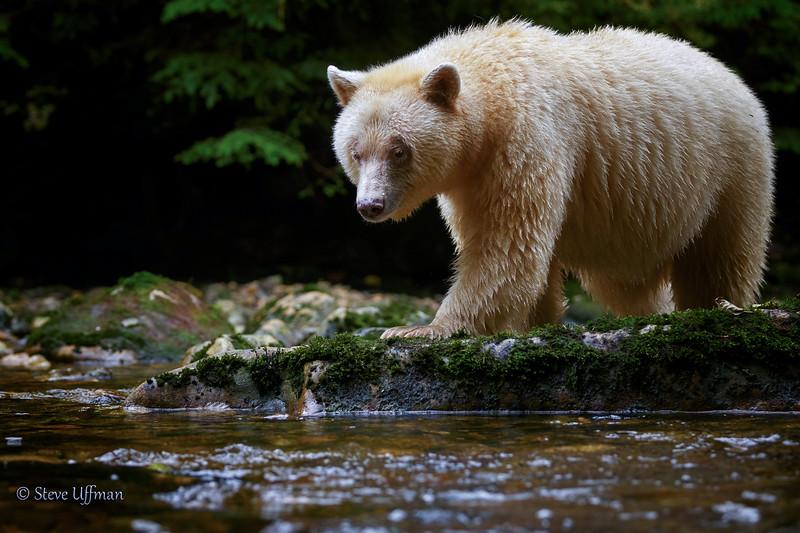 20150930-_Q2C5311Spirit-Bears-British-Columbia - Copy.jpg