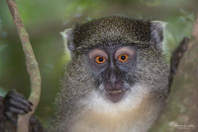 Sykes' Monkey (Cercopithecus albogularis)