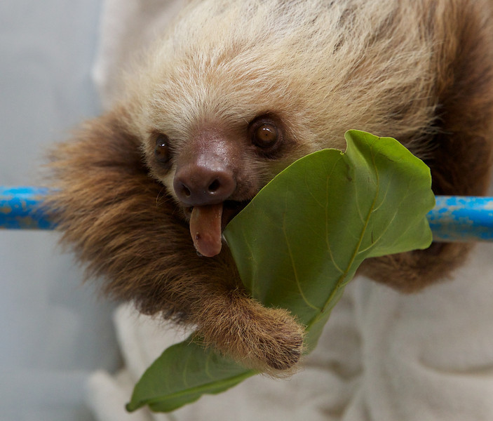 "Two-fingered Sloth at the <a href=""http://www.slothsanctuary.com/"">Sloth Sanctuary</a>."