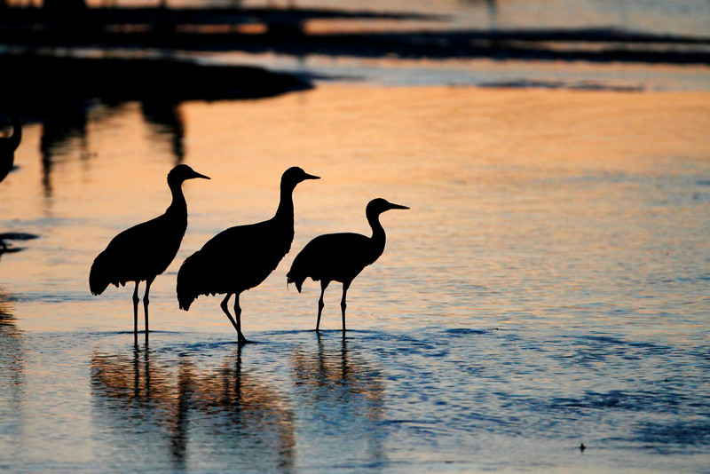 A trio of sandhills stand on the edge of a sandbar in the Platte River at sunset
