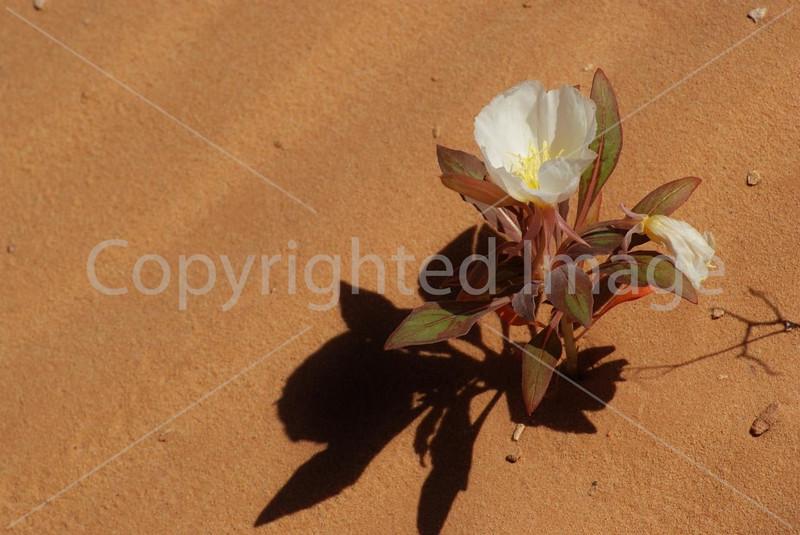 Dune Primrose.jpg