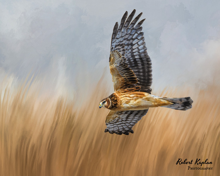 Northern Harrier InthefieldDT -7390.jpg