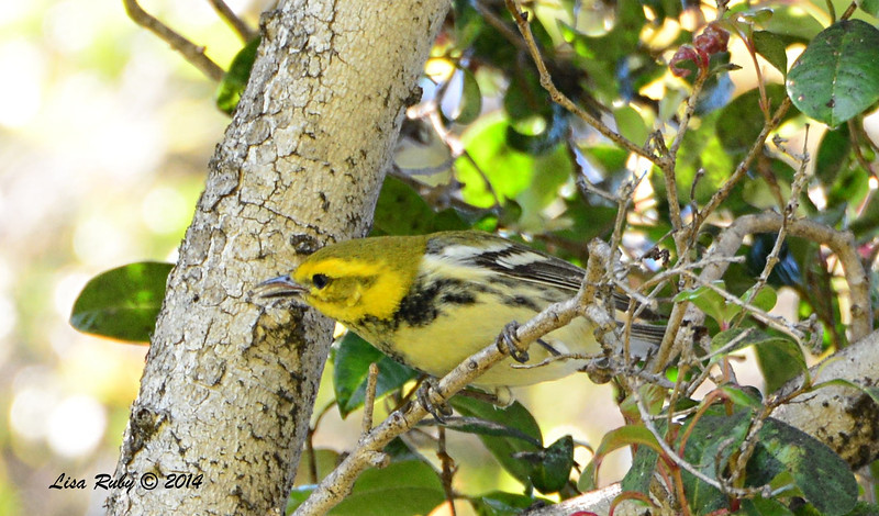 Black-throated Green Warbler - 3/14/2014 - Greenwood Cemetery