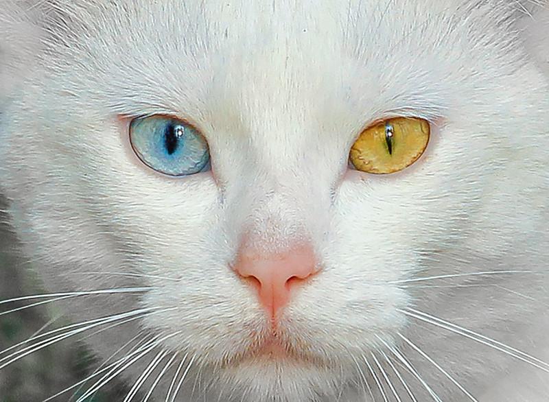 MCC4 Jean McManus MY HETEROCHROMIC CAT.jpg
