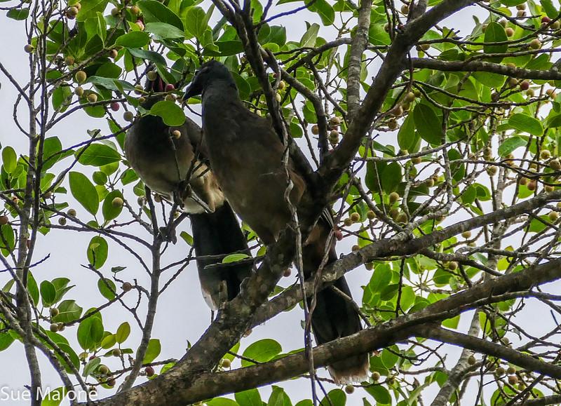 chachalaca birds (2 of 2).jpg
