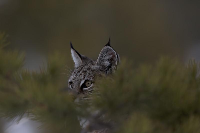 Bobcat hiding among the conifers.jpg