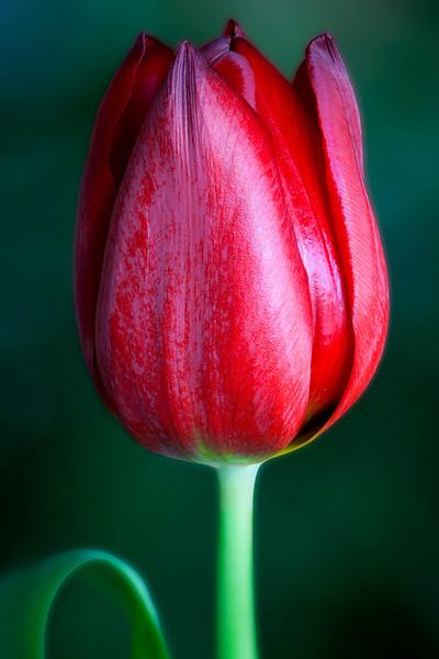 red-tulip-02.jpg