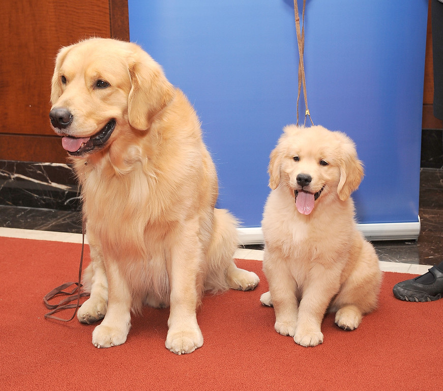 . Two Golden retrievers, Major, left, and Gibbs enjoy their time in the spotlight. (Photo by Gary Gershoff/Getty Images)