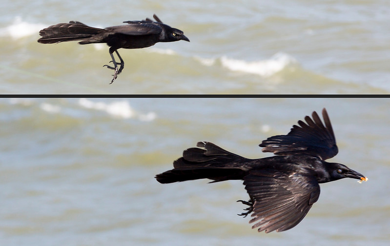 A Boat-tailed Grackle takes flight ...