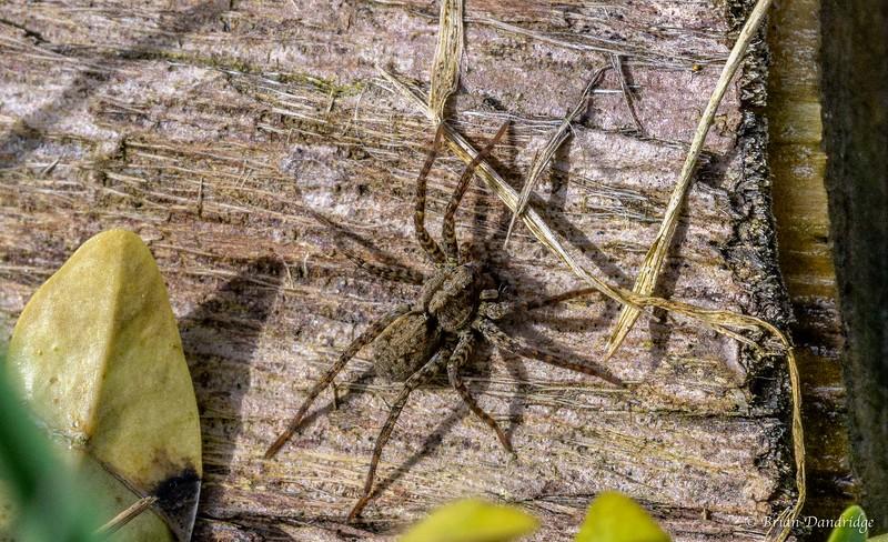 Garden_Spider-1.jpg
