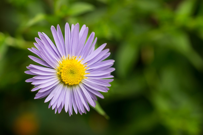 shaver's creek purple flower.jpg