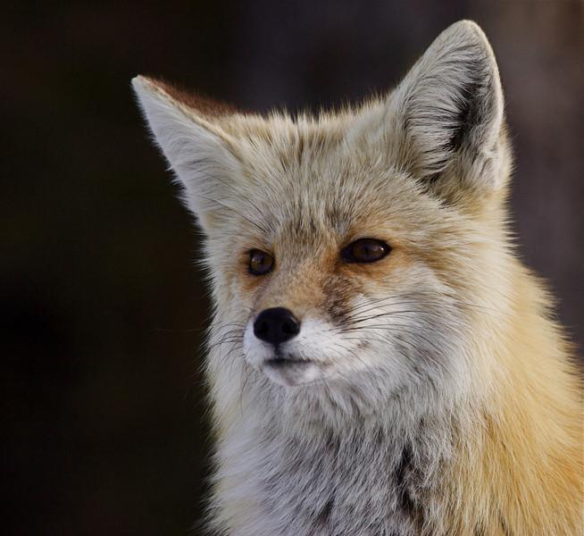 Red Fox, Cascade subspecies Vulpes vulpes cascadensis