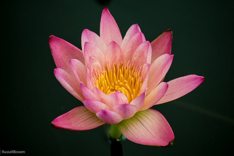 Pink Water Lily  -  2-1.jpg