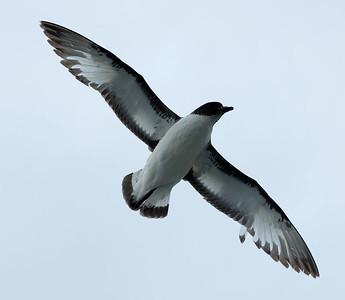 Drake Passage - Birds