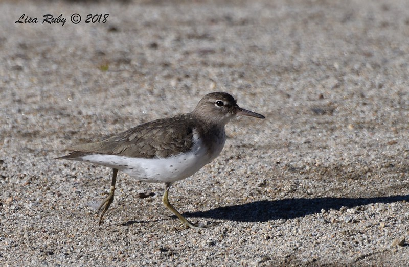 Spotted Sandpiper - 12/30/2018 - Kit Carson Park